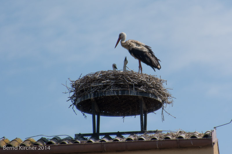 Storch in Neusiedl