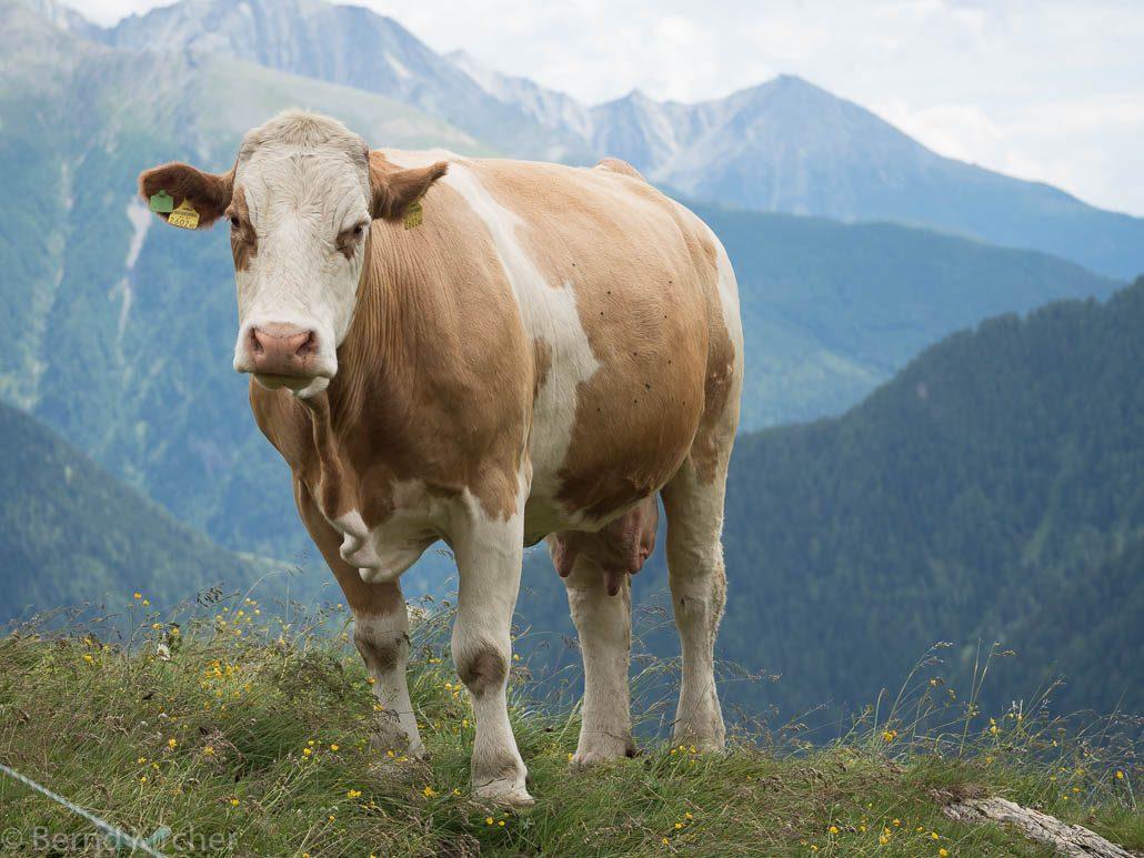 Kuh ohne Fotograf