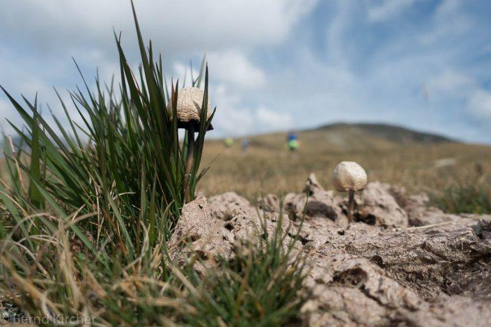 Pilz im Kuhfladen