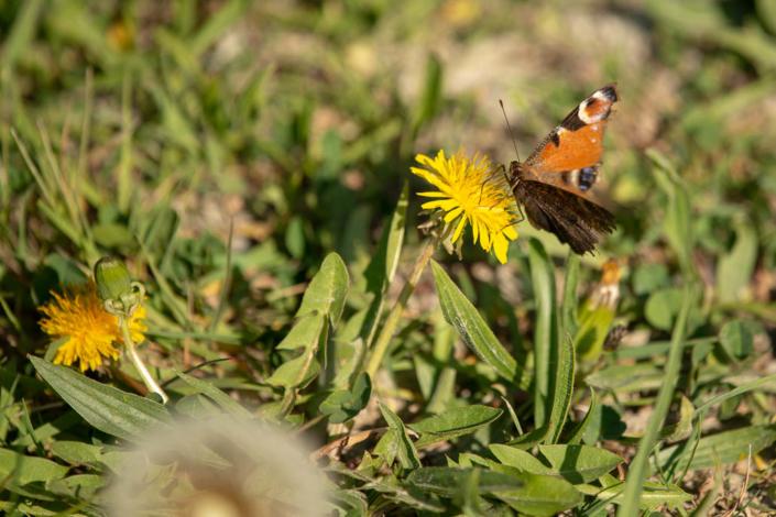 Schmetterling am Löwenzahn