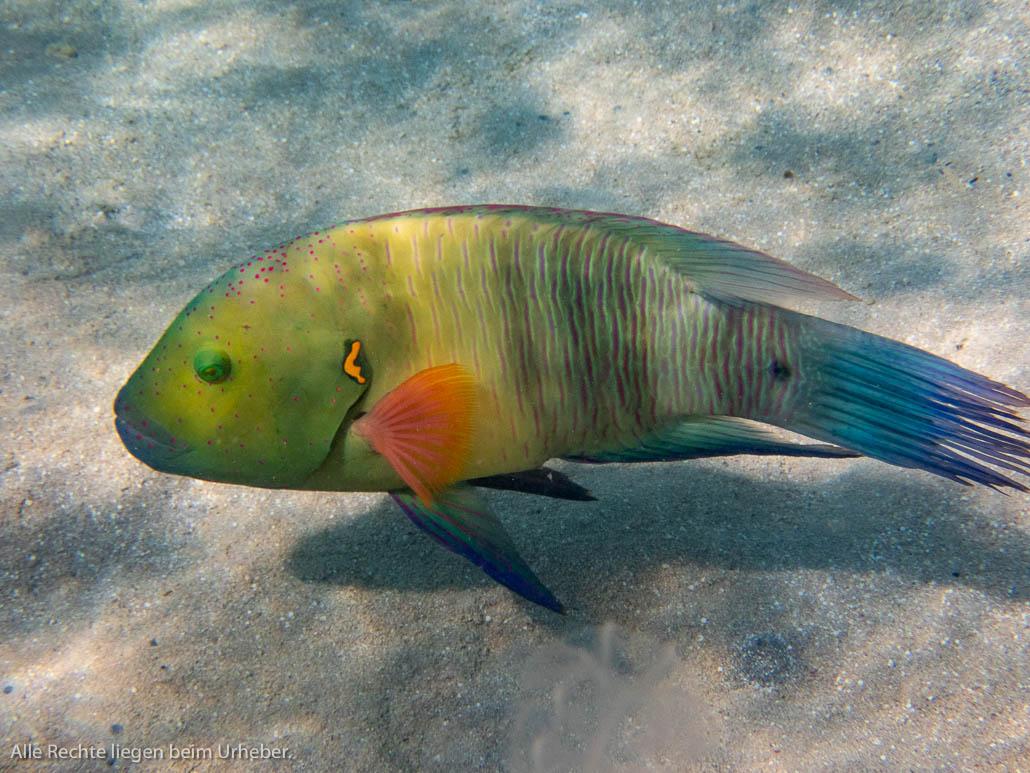 Besenschwanz Lippfisch
