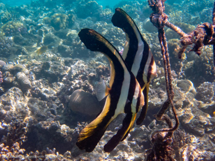 Langflossen Fledermausfisch